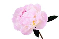 Rosa pionblomma som isoleras på white Royaltyfri Fotografi