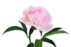 Rosa pionblomma som isoleras på white Royaltyfri Bild
