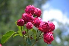 Rosa pioner Royaltyfri Bild