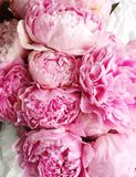 Rosa pioner Arkivfoto