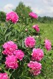 Rosa pioner Arkivfoton