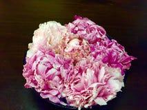 Rosa pioner Royaltyfri Foto