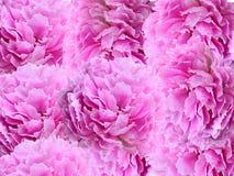Rosa pioner - blom- bakgrund Fotografering för Bildbyråer