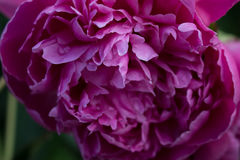 Rosa pioner i trädgård, naturliga blommor Arkivfoto