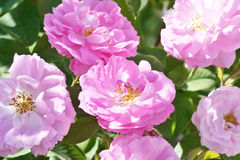 Rosa pioner i trädgården Royaltyfri Foto