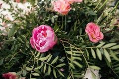 Rosa pioner med gröna sidor på filialer royaltyfria foton