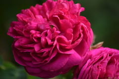 Rosa pioner på grön bakgrund royaltyfri bild