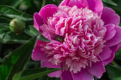 rosa pioner v?xer i tr?dg?rden, n?rbild royaltyfri foto