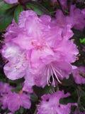 Rosa PJM-rhododendronblommor stänger sig upp arkivfoto