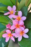 rosa plumeria Royaltyfri Fotografi