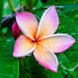 rosa plumeria Fotografering för Bildbyråer