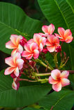 Rosa Plumeria blüht Frangipani Lizenzfreie Stockfotografie