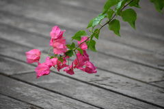 Rosa Plumeria-Blüte und Grünblätter stockfoto