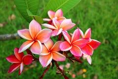 Rosa Plumeria im Garten Stockbilder