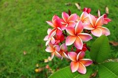 Rosa Plumeria im Garten Lizenzfreie Stockbilder