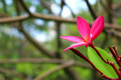 Rosa Plumeria im Garten Lizenzfreie Stockfotos