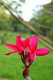 Rosa Plumeria im Garten Stockfotos