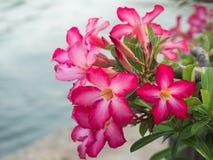 Rosa Plumeria, Impala-Lilie, Wüstenrose, Scheinazalee Stockfotos