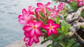 Rosa Plumeria, Impala-Lilie, Wüstenrose, Scheinazalee Stockbild