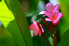 Rosa Plumeria und Blätter Stockbilder