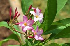 Rosa Plumeriablom och gräsplansidor Arkivbilder