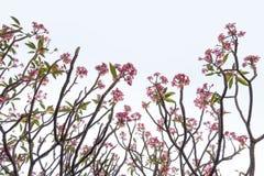 Rosa Plumeriablumen und Baummuster auf weißem backgro Stockfoto