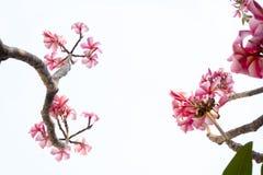 Rosa Plumeriablumen und Baummuster auf weißem backgro Stockfotos
