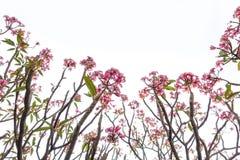 Rosa Plumeriablumen und Baummuster lokalisiert auf weißem backgro Lizenzfreies Stockbild