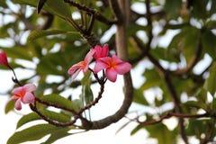 Rosa Plumeriaträdblomning arkivbild