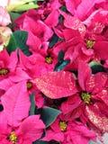 Rosa pointsettia Lizenzfreies Stockfoto