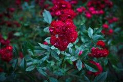 Rosa polyantha royaltyfri fotografi