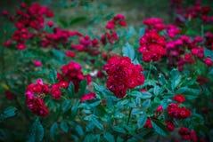 Rosa polyantha arkivbild