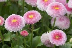 Rosa Pom Pom Daisies Bellis perennis arkivfoto