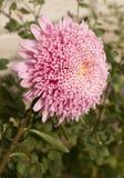Rosa pomponsaster arkivfoton