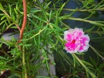 Rosa Portulaca Royaltyfria Bilder