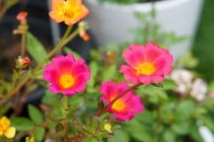 Rosa Portulaca Grandiflorablühen Lizenzfreie Stockfotografie