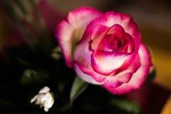 Rosa preciosa del rosa imagen de archivo libre de regalías