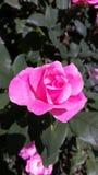 Rosa preciosa del rosa Foto de archivo libre de regalías