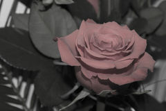A Rosa preto e branco Fotos de Stock Royalty Free