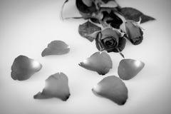 Rosa preto e branco e folhas isoladas no branco imagem de stock