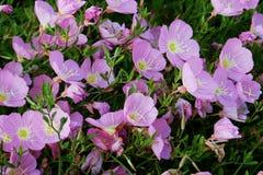 Rosa primarosa Royaltyfria Bilder