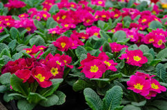 Rosa Primel im Garten Lizenzfreie Stockfotografie