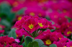 Rosa Primel im Garten Stockfotografie