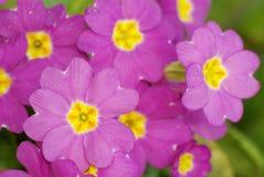 Rosa primrose Arkivbild
