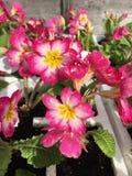 rosa primroses Royaltyfria Foton