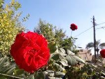 Rosa principal vermelha fotografia de stock royalty free