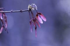 Rosa propellerfrö på trädlemmen Royaltyfri Bild