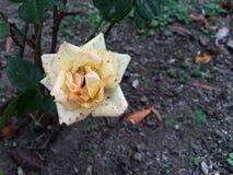 Rosa punteggiata Fotografia Stock
