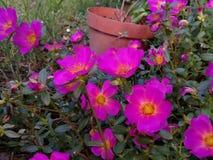 Rosa purpleish färgblomma arkivbild