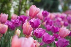 rosa purpura tulpan Royaltyfri Foto